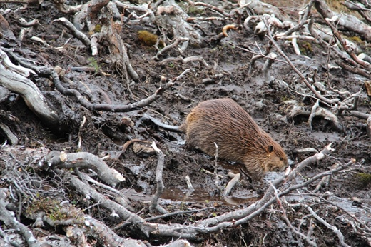 Argentine beaver trying to figure out why the trees are gone. [WorldNomads.com]